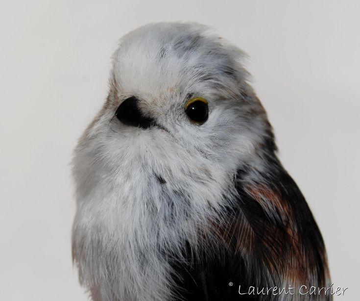 Mésange à longue queue (Aegithalos caudatus) | Laurent Carrier Ornithologie