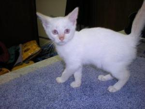 Siamese Cat Adoption St Louis