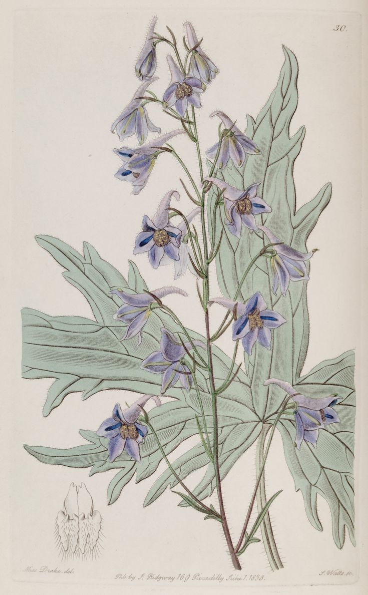 """Delphinium laxiflorum - John Lindley (Chair of Botany at University College, London) described the plant as follows - """"...the leaves of this are remarkable. They are...divided into a few long finger-like crooked segments, or slashes. The colour of the flowers is a bright and very clear but not deep blue, a little tinged with pink outside. It is  a hardy perennial, growing to 4-5 feet high..."""" - 1838"""
