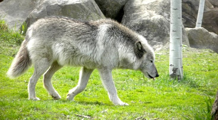 Graying gray wolf at the Phillips Park Zoo in Aurora, Illinois.