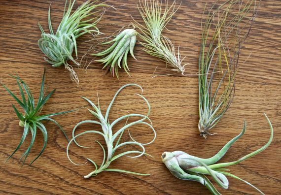 Air plants for sale add on to any order by FlowerPowerNation, $3.50