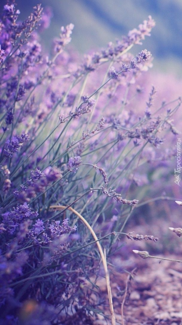 Pin By Anilevef On Tapety Lavender Lavender Garden Lavender Flowers