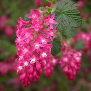 Ribes sanguineum - Red flowering currant.  Have in back yard, but doesn't flower much. Not enough light.  Mostly sunny - Full sun. dry soil.