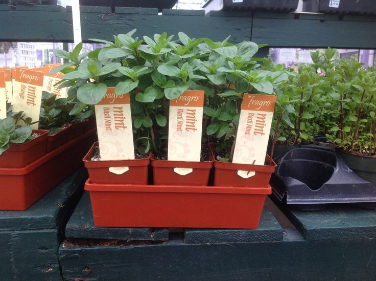This is brand new to our herb dept. basil mint.