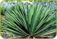 Yucca soorten tropische planten yuccas voor ons klimaat kopen voor de tuin exotische planten