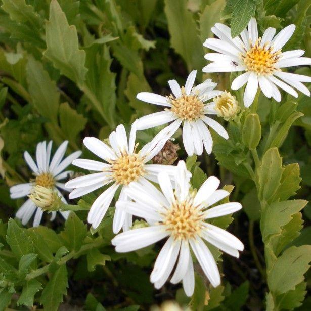 Aster ageratoides Ashvi - Variété compacte à petites fleurs blanches