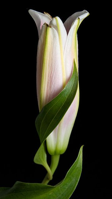Birth of a Lily - Lovely Photo !