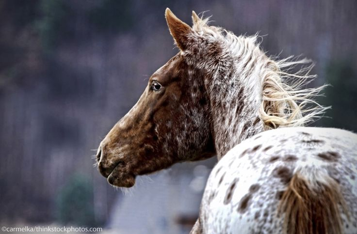 Meet one of the breeds that traces its heritage back to horses favored by Native Americans.