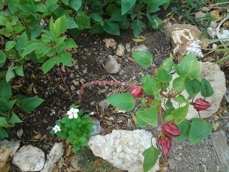 Flor de Jamaica, planta medicinal es digestiva, relajante, facilita el sueño, diurético, recupera el cuerpo de resfriados y resacas por la ingesta de licor, calma los dolores musculares