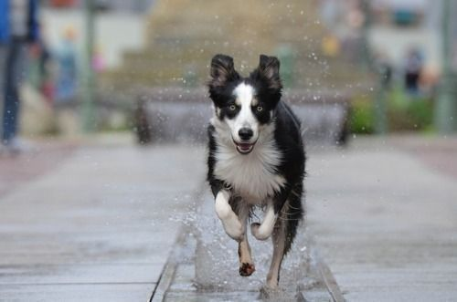 Bordercollie Colliepoint Dog Match Dogs Dog Water Fountain