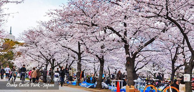 Menikmati keindahan bunga Sakura di OSAKA CASTLE PARK dlm 7D5N Japan Honshu Sakura Saver   Hub. kami di +6221 2350 9999   email: cs@bayubuanatravel.com