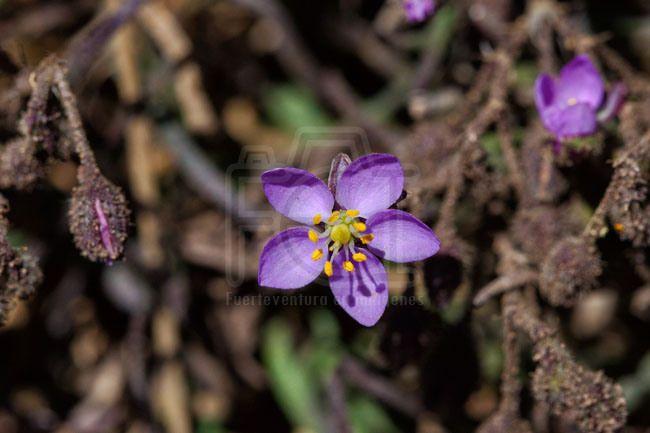 Romerillo pardo (Spergularia fimbriata)