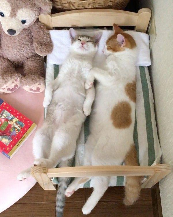 ぬいぐるみ用の小さなベッドをもらった子猫たち。成長してベッドにおさまりきらなくなり…