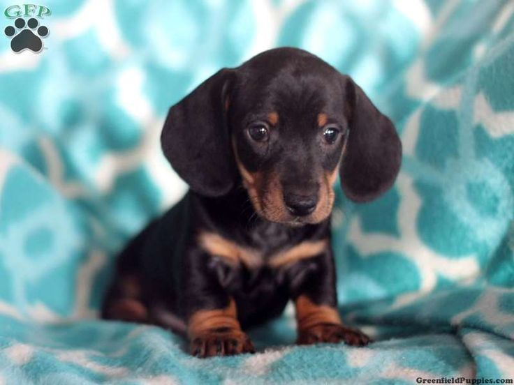Adele Dachshund Puppy For Sale in Pennsylvania