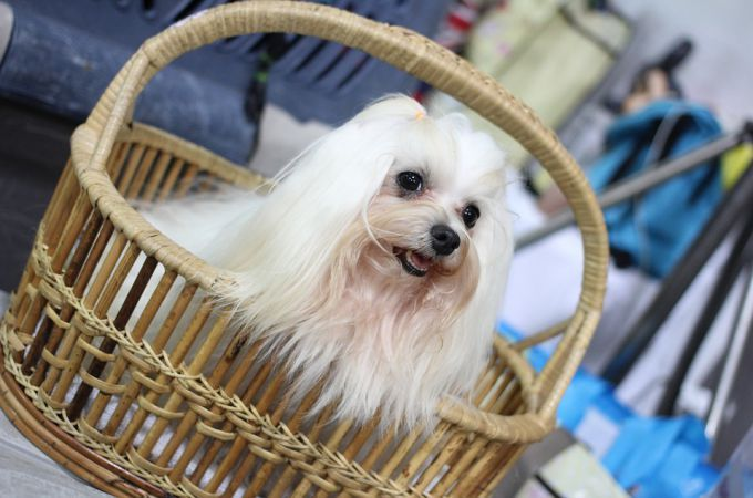 Shih Tzu Dog Breeds Information