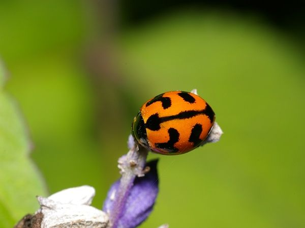 The Transverse ladybirds is bright orange-red in colour with black markings on their back. There is a dark strip down the centre where the wings meet, and prominent V-shaped markings on each side. They are active during the day and adults and larvae can be found living on the same food plants.