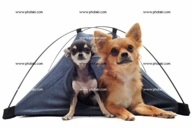 http://www.photaki.com/picture-puppy-and-adult-chihuahuas-in-tent_1306799.htm