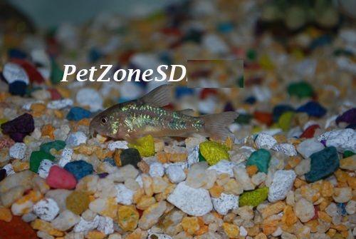 Corydora Paleatus / Peppered Corydora Cory Cat, $4.99 (http://www.petzonesd.com/corydora-paleatus-peppered-corydora-cory-cat/)