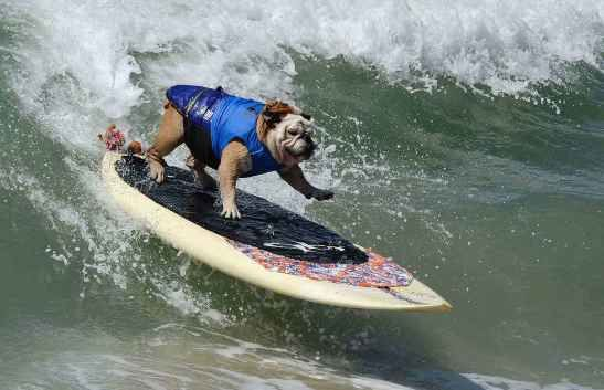 Surfer dog Tillman rides a wave in the large division during the 6th Annual Surf Dog competition at Huntington Beach, Calif., on Sept. 28, 2014.
