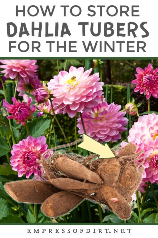 7 Best Tips For Growing Dahlias Year After Year Eod In 2020 Growing Dahlias Dahlia Cold Climate Gardening