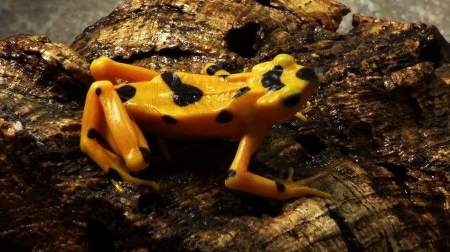 Smithsonian Science | Success: Panama's Golden Frog Bred in Captivity | The Panama Amphibian Rescue and Conservation project recently announced that the golden #frog, a national icon on the brink of #extinction, has been successfully raised in captivity.