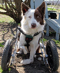 "New England Border Collie Rescue has ""Roosevelt"" a Special Needs dog wanting a Special person of his very own. He is wheel chair bound due to a birth defect, but he is all dog and has the energy to love life to the fullest. He is potty trained and if you are Roosevelt's ""Special"" person please apply here. www.NEBCR.org"