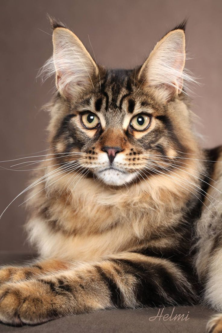 Pin on maine coon, norwegian forest cat, siberian