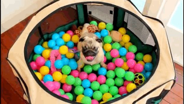 Watch This Adorable Pug Go Bonkers During His First Time In A Ball Pit - I think Ru would love this!