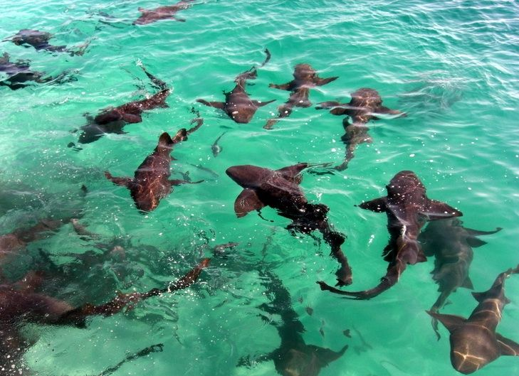 110 best the bahamas personal favorite images on for Sharks fish chicken little rock ar