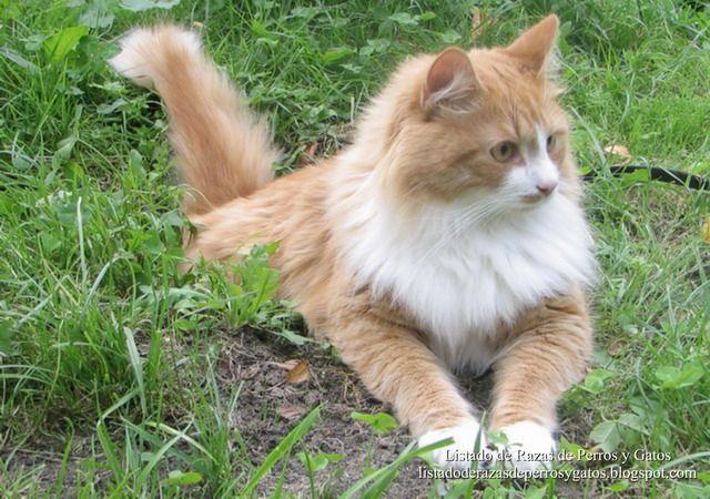 Listado de Razas de Perros y Gatos. Todos los tipos...: Raza de Gato Siberiano (Siberian cat)
