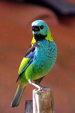 Litoral Norte-Região investe para se tornar rota de observação de aves -saíra sete cores