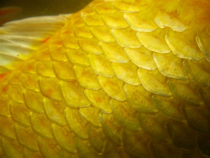 17 best images about feathers fins and leaves on pinterest for Fish with scales and fins