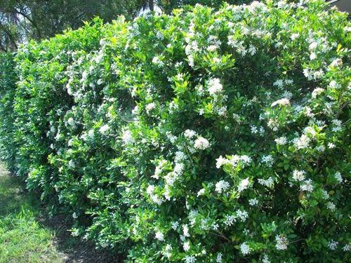 Orange Jasmine' or 'Mock Orange'~'knit together' to form an excellent hedge, or screening plant~