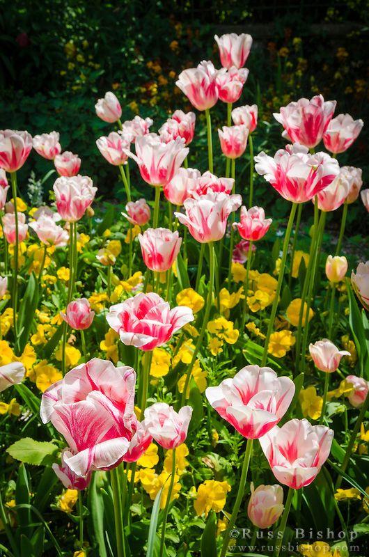 images  spring bulbs  pinterest