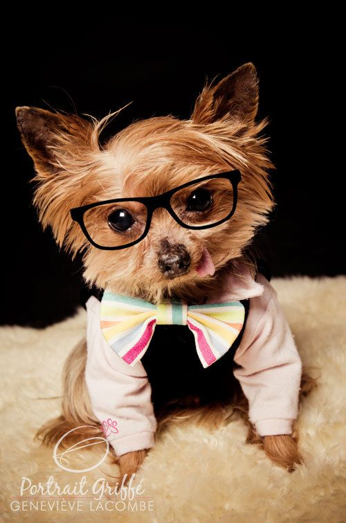 Nerd Colo - Dog photography - Geek Yorkie - Colo and Mini portraits