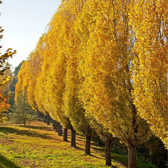 Lombardy Poplar tree in fall color (photoInText) yellow orange.