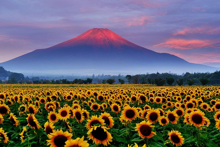 Sunflower And Red Fuji Awesome Japan In 2019 Mount
