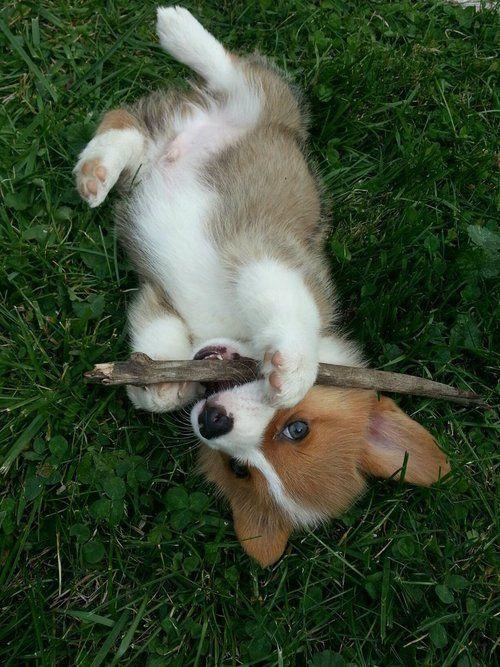 corgi puppy #corgi