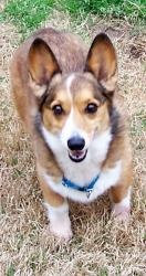 Monkey is an #adoptable Welsh Corgi Dog in #Kilgore, #TEXAS. {Listings updated daily - Apply online at www.corgisncritters.org. ** We welcome out of state applications, with a good veterinary reference. WE ...