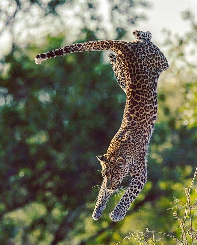 Amazing shot of gorgeous leopard sprinting... @gregdutoit
