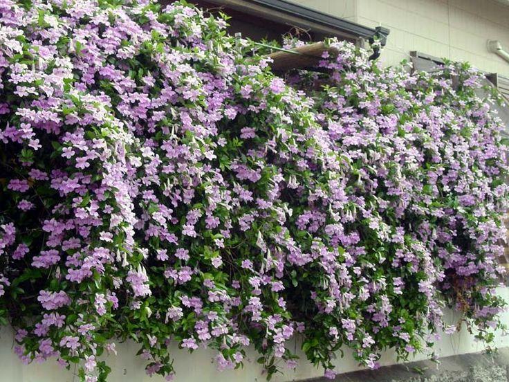 trumpet vine bush Photo of Lavender Trumpet Vine