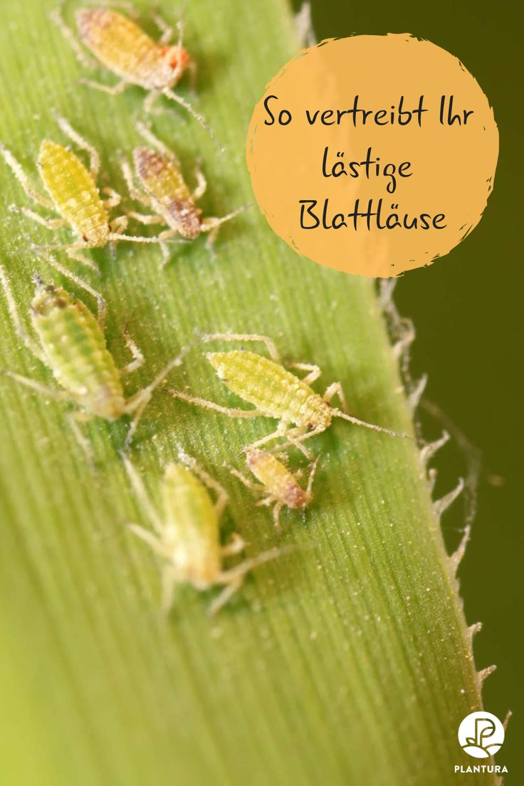10 Hausmittel gegen Blattläuse – Plantura | Garten Ideen & Tipps | Gemüse, Obst, Kräuter