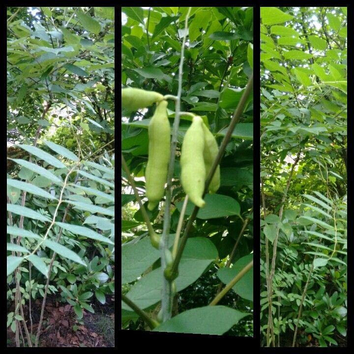 Augurken Boom, Decaisnea Fargesli in het Engels Deadline Man's Ginger. Deze boom heeft blauwe peulen en het zaad heb ik meegenomen uit de tuin van ons vakantiehuis in Denemarken,in de Herfst van 2011. Bij thuiskomst heb ik de zaden gezaaid. Een van de planten staat nu in onze tuin en heeft de eerste Peulen, die nog blauw moeten worden.