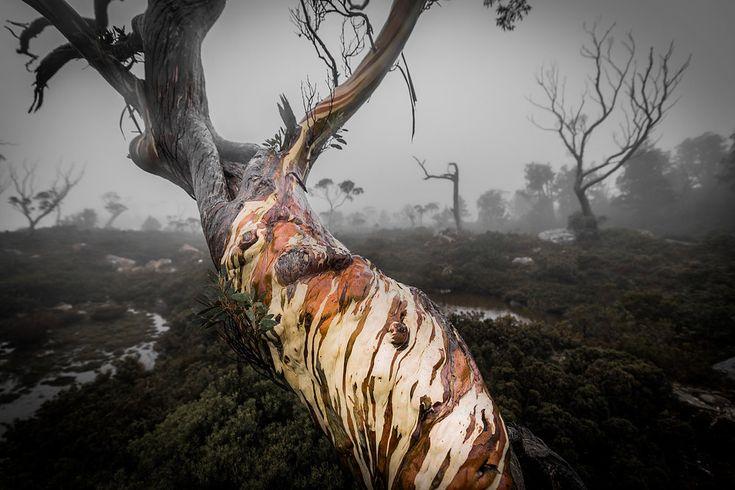 Tree Of Faces - Tarn Shelf - Tasmania - Wilkography