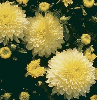 Chrysanthemum morifolium   Fine Gardening