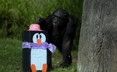 A chimpanzee monkeys around with his penguin-shaped parcel at La Aurora zoo in Guatemala City, Guatemala