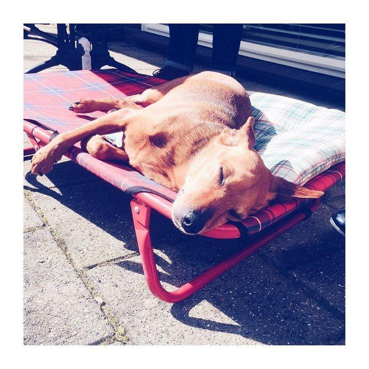 Liefste hondje ever. Lekker zonnebaden op z'n eigen stretchertje.  #goedemorgen #goodmorningpost