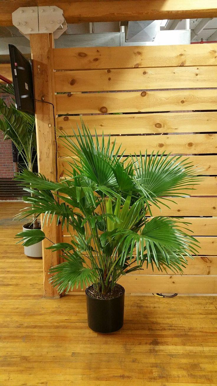 les 25 meilleures id es concernant palmier trachycarpus sur pinterest planter bananier. Black Bedroom Furniture Sets. Home Design Ideas