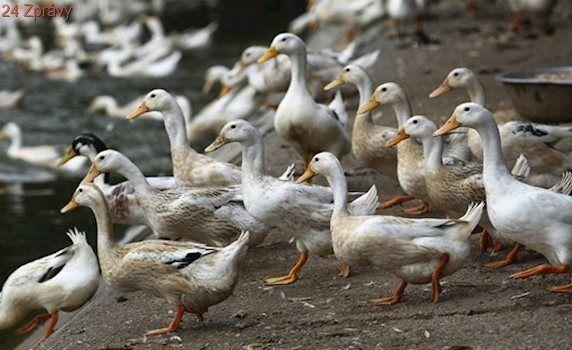 Veterináři vybijí kvůli ptačí chřipce dva chovy drůbeže na Chebsku