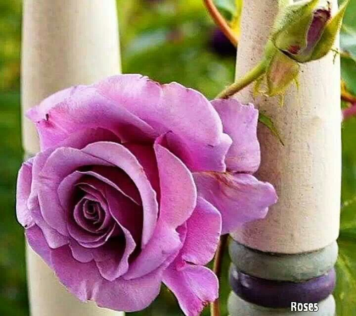 94 best ROSES images on Pinterest | Beautiful flowers, Pretty ...